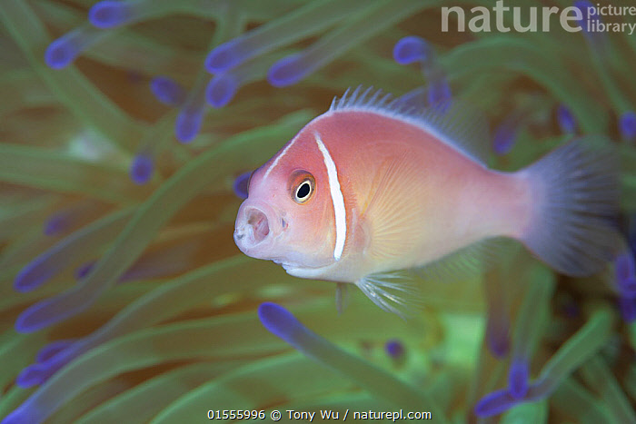 Pink anemonefish (Amphiprion perideraion) with mouth open, Bismarck Sea, Papua New Guinea  ,  Animal,Vertebrate,Ray-finned fish,Percomorphi,Damselfish,Clownfish,Pink anemonefish,Animalia,Animal,Wildlife,Vertebrate,Actinopterygii,Ray-finned fish,Osteichthyes,Bony fish,Fish,Perciformes,Percomorphi,Acanthopteri,Pomacentridae,Damselfish,Dameselfishes,Amphiprion,Clownfish,Anemonefish,Clown fish,Anenome fish,Amphiprion perideraion,Pink anemonefish,Pink skunk clown,Salmon clownfish,Whitemaned anenomefish,Whitebanded anenomefish,False skunkstriped anenomefish,Amphiprion rosenbergii,Prochilus perideraion,Amphiprion amamiensis,Oceania,Melanesia,New Guinea,Papua New Guinea,Profile,Horizontal,Side View,Portrait,Tropical,Ocean,Pacific Ocean,Marine,Underwater,Water,Indo Pacific,Saltwater,Marine  ,  Tony Wu
