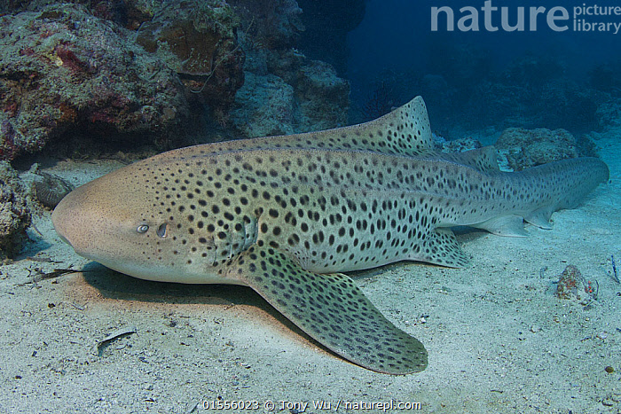 Zebra shark (Stegostoma fasciatum) lying on sandy bottom at a reef located in Wolverine Passage, part of the Barrier Reef of Papua New Guinea  ,  Animal,Vertebrate,Cartilaginous fish,Carpet shark,Zebra sharks,Zebra shark,Animalia,Animal,Wildlife,Vertebrate,Chondrichthyes,Cartilaginous fish,Jawed fish,Orectolobiformes,Carpet shark,Stegostomatidae,Zebra sharks,Stegstoma,Stegostoma fasciatum,Zebra shark,Leopard shark,Stegostoma tigrinum,Squalus pantherinus,Stegostoma varium,Resting,Rest,Pattern,Spotted,Oceania,Melanesia,New Guinea,Papua New Guinea,Profile,Horizontal,Side View,Tropical,Sea Floor,Seabed,Reef,Reefs,Coral Reef,Coral Reefs,Ocean,Pacific Ocean,Marine,Underwater,Water,Indo Pacific,Saltwater,Shark,Endangered species,threatened,Vulnerable,Marine  ,  Tony Wu
