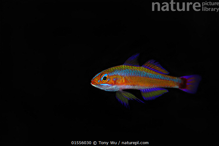 Blue-striped cave goby (Trimma tevegae) Lion Island near Loloata Island Resort, Bootless Bay, Papua New Guinea  ,  Animal,Vertebrate,Ray-finned fish,Percomorphi,Goby,Animalia,Animal,Wildlife,Vertebrate,Actinopterygii,Ray-finned fish,Osteichthyes,Bony fish,Fish,Perciformes,Percomorphi,Acanthopteri,Gobiidae,Goby,Pattern,Stripes,Oceania,Melanesia,New Guinea,Papua New Guinea,Copy Space,Plain Background,Black Background,Profile,Horizontal,Side View,Tropical,Cave,Ocean,Pacific Ocean,Marine,Underwater,Water,Indo Pacific,Saltwater,Negative space,  ,  Tony Wu