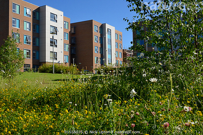 Perennial wildflower meadow including Birdsfoot trefoil (Lotus corniculatus), Oxeye daisies (Leucanthemum vulgare) and Red Clover (Trifolium pratense) to attract and support bees and other insects planted around university Halls of Residence by the Bristol University's Urban Pollinators project, Bristol, UK, July.  ,  Plant,Vascular plant,Flowering plant,Rosid,Legume,Clover,Red clover,Trefoil,Bird's foot trefoil,Asterid,Daisy,Oxeye daisy,Plantae,Plant,Tracheophyta,Vascular plant,Magnoliopsida,Flowering plant,Angiosperm,Seed plant,Spermatophyte,Spermatophytina,Angiospermae,Fabales,Rosid,Dicot,Dicotyledon,Rosanae,Fabaceae,Legume,Pea,Bean,Leguminosae,Trifolium,Clover,Trifolium pratense,Red clover,Trifolium borysthenicum,Trifolium bracteatum,Trifolium ukrainicum,Lotus,Trefoil,Deervetch,Lotus corniculatus,Bird's foot trefoil,Garden birdsfoot trefoil,Garden bird's foot trefoil,Birdfoot deervetch,Lotus ambiguus,Lotus caucasicus,Lotus filicaulis,Lotus zhegulensis,Asterales,Asterid,Asteranae,Asteraceae,Compositae,Leucanthemum,Daisy,Leucanthemum vulgare,Oxeye daisy,Ox eye daisy,Oxeyedaisy,Marguerite,Leucanthemum praecox,Chrysanthemum ircutiana,Chrysanthemum leucanthemum,Europe,Western Europe,UK,Great Britain,England,Bristol,Flower,Grassland,Habitat,Conservation,  ,  Nick Upton