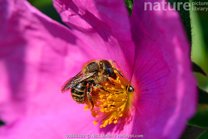 Gold-fringed mason bee (Osmia aurulenta) nectaring on Rock rose (Cistus pulverulentus) in a garden planted with pollinator attracting  flowers, Dungeness, Kent, UK.   June.  ,  Animal,Arthropod,Insect,Leaf cutting bee,Mason bee,Dune snail bee,Solitary bee,Animalia,Animal,Wildlife,Hexapoda,Arthropod,Invertebrate,Hexapod,Arthropoda,Insecta,Insect,Hymenoptera,Hymenopterans,Megachilidae,Leaf cutting bee,Bee,Apocrita,Osmia,Mason bee,Osmia aurulenta,Dune snail bee,Pollination,Colour,Pink,Europe,Western Europe,UK,Great Britain,England,Kent,Plant,Flower,Feeding,Solitary bee,  ,  Nick Upton