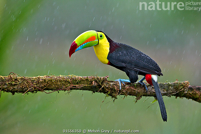Keel-billed toucan (Ramphastos sulfuratus) adult male in rain. North Costa Rica.  ,  Animal,Vertebrate,Bird,Birds,Toucan,Keel billed toucan,Animalia,Animal,Wildlife,Vertebrate,Aves,Bird,Birds,Piciformes,Ramphastidae,Toucan,Ramphastos,Ramphastos sulfuratus,Keel billed toucan,Rainbow billed toucan,Sulphur breasted toucan,Latin America,Central America,Costa Rica,Beak,Biodiversity hotspot,  ,  Melvin Grey