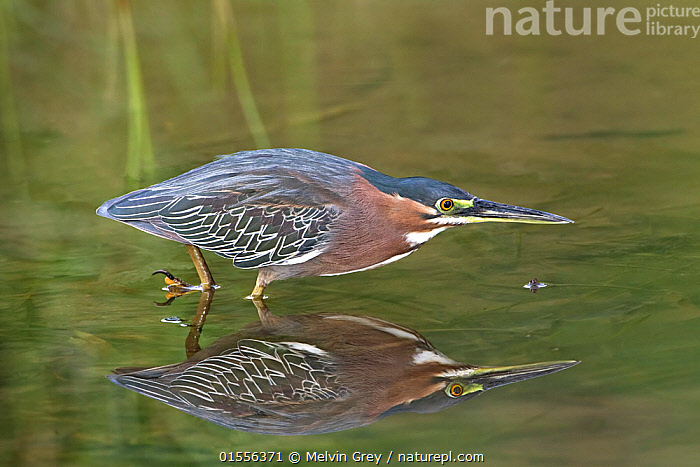 Green heron (Butorides virescens virescens) adult fishing in shallow tidal flow. Speyside, Tobago  ,  Animal,Vertebrate,Bird,Birds,Greenbacked heron,Green heron,Animalia,Animal,Wildlife,Vertebrate,Aves,Bird,Birds,Pelecaniformes,Ardeidae,Butorides,Greenbacked heron,Green backed heron,Heron,Ardeinae,Butorides virescens,Green heron,The Caribbean,Trinidad And Tobago,Profile,Side View,Reflection,Biodiversity hotspots,  ,  Melvin Grey