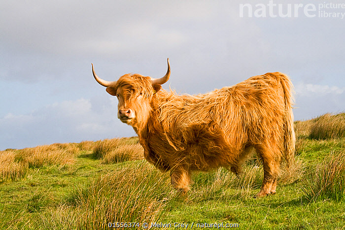 Highland cow bull, grazing on rough pasture. North Uist,  Outer Hebrides, Scotland.  ,  Animal,Male Animal,Bull,Bulls,Livestock,Domestic animal,Cattle,Cows,Highland Cattle,Domesticated,Mammal,  ,  Melvin Grey