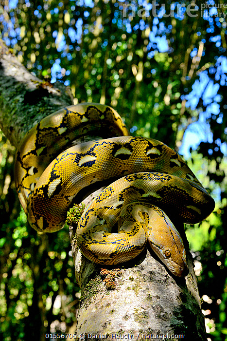 Nature Picture Library - Dwarf reticulated python