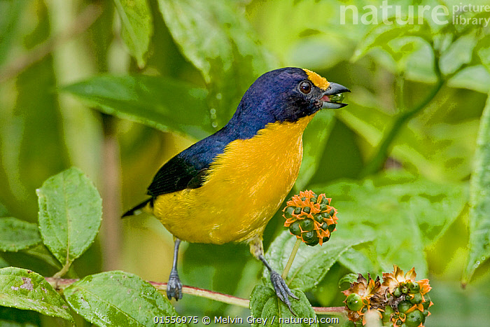 Violaceous euphonia (Euphonia violacea rodwayi) adult male feeding on rainforest berries, Asa Wright, Trinidad, Animal,Vertebrate,Bird,Birds,Songbird,True finch,Violaceous euphonia,Animalia,Animal,Wildlife,Vertebrate,Aves,Bird,Birds,Passeriformes,Songbird,Passerine,Fringillidae,True finch,Finch,Euphonia,The Caribbean,Trinidad And Tobago,Trinidad,Male Animal,Feeding,Biodiversity hotspots,Euphonia violacea,Violaceous euphonia,, Melvin Grey