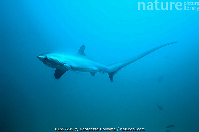 RF - Thresher shark (Alopias pelagicus) swimming over seabed,  Malaspascua, Philippines. (This image may be licensed either as rights managed or royalty free.)  ,  Animal,Wildlife,Vertebrate,Cartilaginous fish,Mackeral shark,Thresher sharks,Pelagic Thresher,Animalia,Animal,Wildlife,Vertebrate,Chondrichthyes,Cartilaginous fish,Jawed fish,Lamniformes,Mackeral shark,Elasmobranchii,Elasmobranches,Alopiidae,Thresher sharks,Alopias,Alopias pelagicus,Pelagic Thresher,Thresher Shark,Whiptail Shark,Colour,Blue,Worried,Asia,South East Asia,Republic of the Philippines,Copy Space,Tropical,Ocean,Pacific Ocean,Marine,Underwater,Water,Indo Pacific,Saltwater,Biodiversity hotspots,Biodiversity hotspot,Philippines,Shark,Negative space,RF,Royalty free,RFCAT1,RF17Q2,Endangered species,threatened,Vulnerable,Marine,RF3,,RF3,,RF,  ,  Georgette Douwma