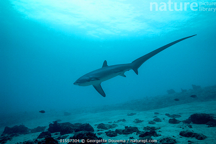 Thresher shark (Alopias pelagicus) swimming over seabed to be cleaned by cleaner wrasses, Cebu, Malaspascua, Philippines, September  ,  Animal,Vertebrate,Cartilaginous fish,Mackeral shark,Thresher sharks,Pelagic Thresher,Animalia,Animal,Wildlife,Vertebrate,Chondrichthyes,Cartilaginous fish,Jawed fish,Lamniformes,Mackeral shark,Elasmobranchii,Elasmobranches,Alopiidae,Thresher sharks,Alopias,Alopias pelagicus,Pelagic Thresher,Thresher Shark,Whiptail Shark,Grooming,Symbiotic Relationship,Cleaning,Asia,South East Asia,Republic of the Philippines,Horizontal,Tropical,Sea Floor,Seabed,Reef,Reefs,Ocean,Marine,Underwater,Water,Animal Behaviour,Indo Pacific,Behaviour,Saltwater,Biodiversity hotspots,Biodiversity hotspot,Philippines,Shark,Endangered species,threatened,Vulnerable,Marine  ,  Georgette Douwma