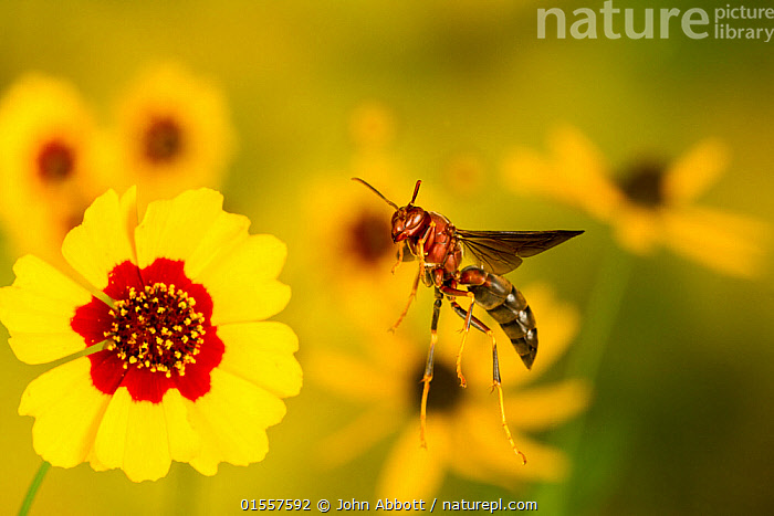 Paper wasp (Polistes metricus) flying from flower, Tuscaloosa County, Alabama, USA Controlled conditions. September, Animal,Wildlife,Arthropod,Insect,Wasp,Paper wasp,Metrius paper wasp,American,Animalia,Animal,Wildlife,Hexapoda,Arthropod,Invertebrate,Hexapod,Arthropoda,Insecta,Insect,Hymenoptera,Vespidae,Wasp,Hunting wasp,Vespoid wasp,Polistes,Paper wasp,Polistine wasp,Social wasp,Polistes metricus,Metrius paper wasp,Pollination,Flying,Colour ,Yellow,Colourful,North America,USA,Southern USA,Southeast USA,Alabama,Profile,Side View,Plant,Flower,American,United States of America,Animals,Arthropods,Invertebrates,Hexapods,Insects,Wasps,Hunting wasps,Vespoid wasps,Paper wasps,Polistine wasps,Social wasps,Flowers,Colours,Colors,Animal,Wildlife,Arthropod,Insect,Wasp,Paper wasp,Metrius paper wasp,American,high16, John Abbott