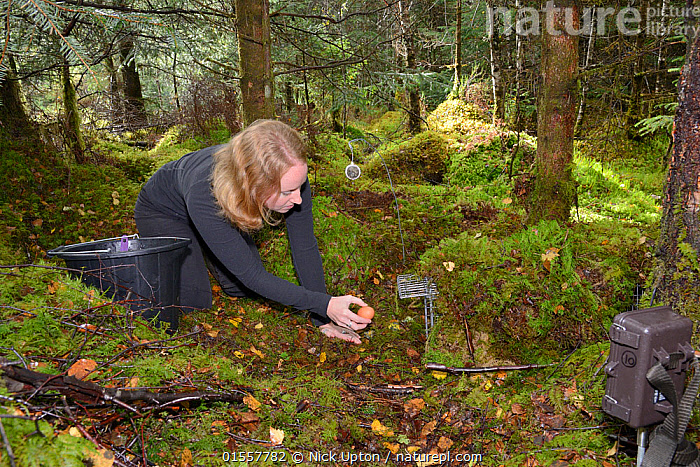 Lizzie Croose uses an egg to bait a live trap set for Pine martens (Martes martes) in mixed conifer and birch woodland, with a trailcam set in the foreground, during a reintroduction project to Wales run by the Vincent Wildlife Trust, Scottish Highlands, September 2016. Model released., Animal,Vertebrate,Mammal,Carnivore,Mustelid,Marten,European Pine Martin,Animalia,Animal,Wildlife,Vertebrate,Mammalia,Mammal,Carnivora,Carnivore,Mustelidae,Mustelid,Martes,Marten,Martes martes,European Pine Martin,Pine Marten,People,Research,Researching,Europe,Western Europe,UK,Great Britain,Scotland,Highland,Science,Conservation,Wildlife conservation,Highlands of Scotland,Reintroduction,Reintroduced,, Nick Upton