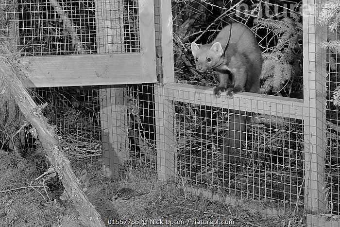 Radio-collared Male Pine marten (Martes martes) emerging from a temporary soft release cage after dark during a reintroduction project by the Vincent Wildlife Trust, Cambrian Mountains, Wales, UK, September 2016. Captured with a camera trap and infra-red light., Animal,Vertebrate,Mammal,Carnivore,Mustelid,Marten,European Pine Martin,Animalia,Animal,Wildlife,Vertebrate,Mammalia,Mammal,Carnivora,Carnivore,Mustelidae,Mustelid,Martes,Marten,Martes martes,European Pine Martin,Pine Marten,Releasing,Europe,Western Europe,UK,Great Britain,Wales,Lighting Technique,Cage,Cages,Night,Conservation,Wildlife conservation,Reintroduction,Reintroduced,, Nick Upton