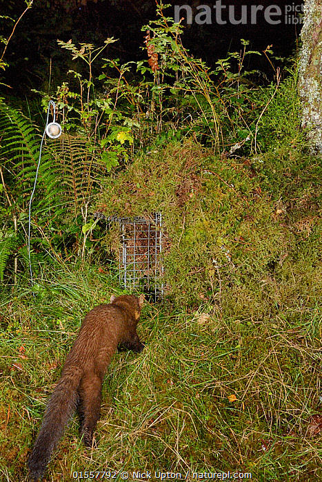 Pine marten (Martes martes) visiting a live trap, pre-baited but not yet set in coniferous woodland, during a reintroduction project to Wales run by the Vincent Wildlife Trust, Scottish Highlands, September 2016. Taken with a remote camera trap., Animal,Vertebrate,Mammal,Carnivore,Mustelid,Marten,European Pine Martin,Animalia,Animal,Wildlife,Vertebrate,Mammalia,Mammal,Carnivora,Carnivore,Mustelidae,Mustelid,Martes,Marten,Martes martes,European Pine Martin,Pine Marten,Europe,Western Europe,UK,Great Britain,Scotland,Highland,Woodland,Forest,Conservation,Wildlife conservation,Highlands of Scotland,Reintroduction,Reintroduced,, Nick Upton