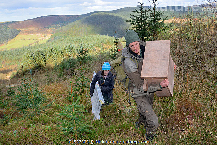 David Bavin carrying a wooden den box to be fixed to a tree for use by Pine martens (Martes martes) reintroduced to Wales by the Vincent Wildlife Trust, as Josie Bridges carries a ladder for access, Cambrian Mountains, Wales, UK, February 2016. Model released., Animal,Vertebrate,Mammal,Carnivore,Mustelid,Marten,European Pine Martin,Animalia,Animal,Wildlife,Vertebrate,Mammalia,Mammal,Carnivora,Carnivore,Mustelidae,Mustelid,Martes,Marten,Martes martes,European Pine Martin,Pine Marten,People,Europe,Western Europe,UK,Great Britain,Wales,Mountain,Conservation,Wildlife conservation,Reintroduction,Reintroduced,, Nick Upton
