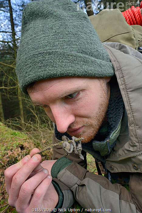 David Bavin inspecting and sniffing scat of a Pine marten (Martes martes) reintroduced to Wales by the Vincent Wildlife Trust, Cambrian Mountains, Wales, UK, February 2016. Model released., Animal,Vertebrate,Mammal,Carnivore,Mustelid,Marten,European Pine Martin,Animalia,Animal,Wildlife,Vertebrate,Mammalia,Mammal,Carnivora,Carnivore,Mustelidae,Mustelid,Martes,Marten,Martes martes,European Pine Martin,Pine Marten,People,Man,Europe,Western Europe,UK,Great Britain,Wales,Faeces,Conservation,Wildlife conservation,Reintroduction,Reintroduced,Tracking,Scat,, Nick Upton