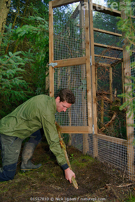 David Bavin props open the door of a soft release cage to allow a Pine marten (Martes martes) to emerge when it is ready, during a reintroduction project by the Vincent Wildlife Trust, Cambrian Mountains, Wales, UK, September 2016. Model released., Animal,Vertebrate,Mammal,Carnivore,Mustelid,Marten,European Pine Martin,Animalia,Animal,Wildlife,Vertebrate,Mammalia,Mammal,Carnivora,Carnivore,Mustelidae,Mustelid,Martes,Marten,Martes martes,European Pine Martin,Pine Marten,People,Man,Europe,Western Europe,UK,Great Britain,Wales,Cage,Cages,Conservation,Wildlife conservation,Reintroduction,Reintroduced,, Nick Upton