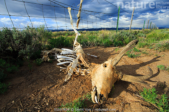 Pronghorn (Antilocapra americana) skeleton caught in a sheep fence. Both antelope, which jump poorly, and deer commonly get their legs caught in livestock fences leading to a slow suffering death. Obstacles like this pose a major threat to the highly migratory Pronghorn and Mule deer of western Wyoming. Sublette County, Wyoming. May.  ,  Animal,Vertebrate,Mammal,Pronghorn,Mexican Pronghorn,American,Animalia,Animal,Wildlife,Vertebrate,Mammalia,Mammal,Artiodactyla,Even-toed ungulates,Antilocapridae,Pronghorn,ruminantia,Ruminant,Antilocapra,Antilocapra americana,Mexican Pronghorn,Prong buck,Pronghorn antelope,Migrating,North America,USA,Western USA,Wyoming,Animal Skulls,Skull,Skulls,Boundary,Fence,Animal Behaviour,Death,Behaviour,American,United States of America,  ,  Gerrit  Vyn