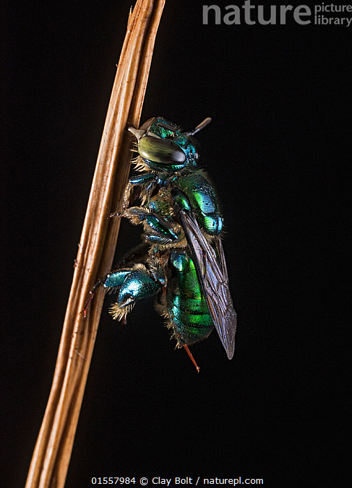 Orchid bee (Euglossa imperialis), Cocobolo Nature Reserve, Panama.  ,  Animal,Arthropod,Insect,Bee,Orchid bee,Solitary bee,Animalia,Animal,Wildlife,Hexapoda,Arthropod,Invertebrate,Hexapod,Arthropoda,Insecta,Insect,Hymenoptera,Hymenopterans,Apidae,Bee,Apid bee,Apoidea,Apocrita,Resting,Rest,Latin America,Central America,Panama,Male Animal,Orchid bee,Solitary bee,Euglossa imperialis,,,flowers,flower,  ,  Clay Bolt