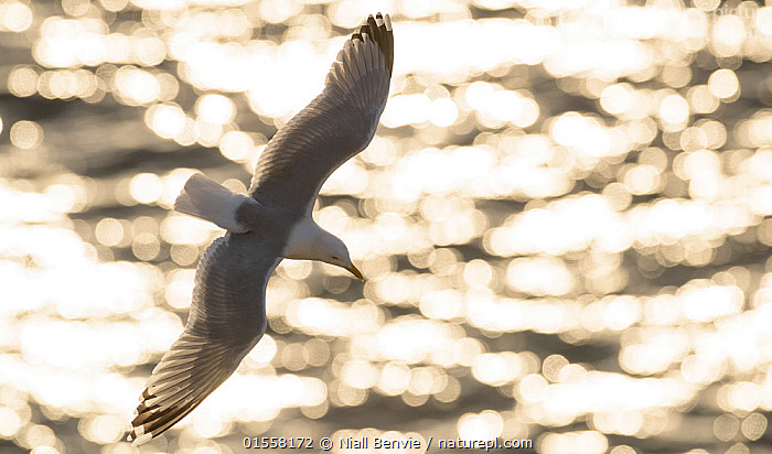 RF- Herring gull (Larus argentatus) against sparkling sea, Scotland. (This image may be licensed either as rights managed or royalty free.)  ,  Animal,Vertebrate,Bird,Birds,Gull,Larinae,Herring gull,Animalia,Animal,Wildlife,Vertebrate,Aves,Bird,Birds,Charadriiformes,Laridae,Gull,Seabird,Larus,Larinae,Larus argentatus,Herring gull,Flying,Direction,Ease,Easy,Colour,Grey,Nobody,Shiny,Shimmer,Europe,Western Europe,UK,Great Britain,Scotland,Back Lit,Wing,Outdoors,Day,Nature,Wild,Marine,Water,Saltwater,Sea,Seagulls,Wings spread,Wingspan,Negative space,Gliding,Purpose,RF,Royalty free,RFCAT1,RF17Q1,  ,  Niall Benvie