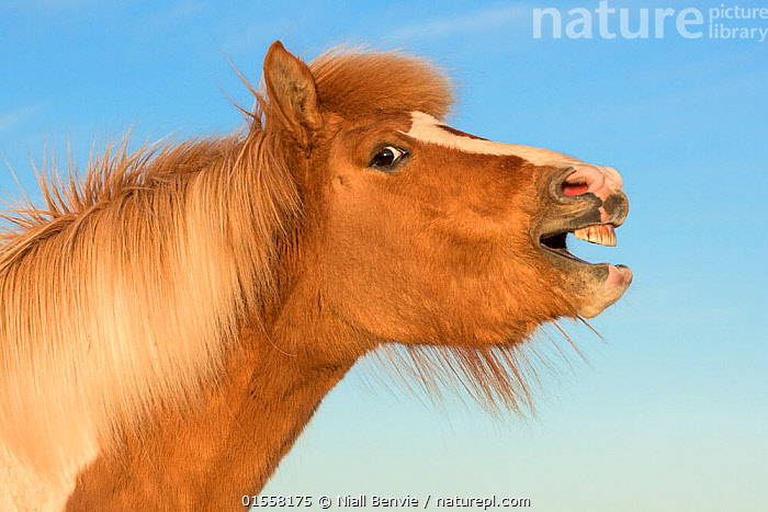 RF- Icelandic horse showing flehmen response, Iceland. July. (This image may be licensed either as rights managed or royalty free.)  ,  Equus ferus caballus,Equus caballus,Nobody,Facial Expression,Laughing,Europe,Northern Europe,North Europe,Nordic Countries,Scandinavia,Iceland,Profile,Side View,Portrait,Animal,Mane,Outdoors,Day,Nature,Wildlife,Wild,Animal Behaviour,Domestic animal,Domestic Horse,Behaviour,Icelandic horse,Domesticated,Equus ferus caballus,Equus caballus,Horse,Flehmen,Disrespect,Animal portrait,Mocking,Mammal,RF,Royalty free,RFCAT1,RF17Q1,  ,  Niall Benvie