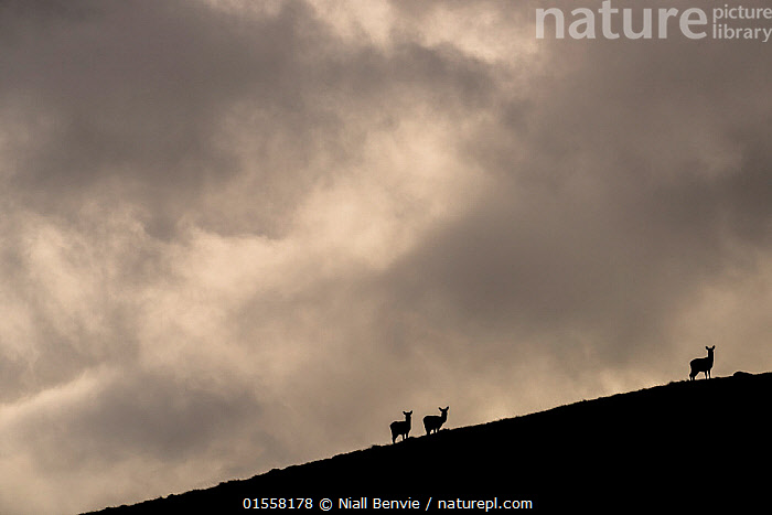 RF- Red deer, (Cervus elaphus) silhouetted against sky, Jura, Scotland. (This image may be licensed either as rights managed or royalty free.)  ,  Animal,Vertebrate,Mammal,Deer,Red Deer,Animalia,Animal,Wildlife,Vertebrate,Mammalia,Mammal,Artiodactyla,Even-toed ungulates,Cervidae,Deer,True deer,ruminantia,Ruminant,Cervus,Cervus elaphus,Red Deer,Wapiti,Standing,Mood,Ominous,Foreboding,Scale,Proportion,Colour,Grey,Distant,Few,Three,Group,Nobody,Europe,Western Europe,UK,Great Britain,Scotland,Back Lit,Hill,Sky,Cloud,Outdoors,Day,Nature,Wild,Silhouette,Hebrides,Inner Hebrides,Jura,Scottish islands,Scottish isles,Isle of Jura,Negative space,Three Animals,Insignificant,RF,Royalty free,RFCAT1,RF17Q1  ,  Niall Benvie