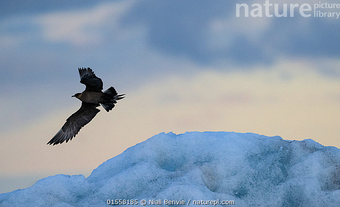 RF- Arctic skua, (Stercorarius parasiticus) in flight, Iceland. July. (This image may be licensed either as rights managed or royalty free.)  ,  Animal,Vertebrate,Bird,Birds,Skua,Arctic skua,Animalia,Animal,Wildlife,Vertebrate,Aves,Bird,Birds,Charadriiformes,Stercorariidae,Skua,Seabird,Stercorarius,Stercorarius parasiticus,Arctic skua,Parasitic jaeger,Parasitic skua,Flying,Disorder,Fear,Nobody,Temperature,Cold,Distress,Distressed,Terrified,Panic,Europe,Northern Europe,North Europe,Nordic Countries,Scandinavia,Iceland,Ice,Snow,Outdoors,Day,Nature,Wild,Negative space,RF,Royalty free,RFCAT1,RF17Q1,Marine bird,Marine birds,Pelagic bird,Pelagic birds,Pelagics  ,  Niall Benvie