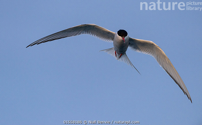 RF- Arctic tern (Sterna paradisaea) in flight, Iceland, July. (This image may be licensed either as rights managed or royalty free.)  ,  Animal,Vertebrate,Bird,Birds,Tern,Arctic tern,Animalia,Animal,Wildlife,Vertebrate,Aves,Bird,Birds,Charadriiformes,Sternidae,Tern,Gull,Seabird,Sterninae,Sterna,Sterna paradisaea,Arctic tern,Rebellion,Nobody,Distracted,Europe,Northern Europe,North Europe,Nordic Countries,Scandinavia,Iceland,Copy Space,Close Up,Front View,Wing,Sky,Clear Sky,Outdoors,Day,Nature,Wild,Wings spread,Wingspan,Negative space,Blue sky,Bandit,RF,Royalty free,RFCAT1,RF17Q1,  ,  Niall Benvie