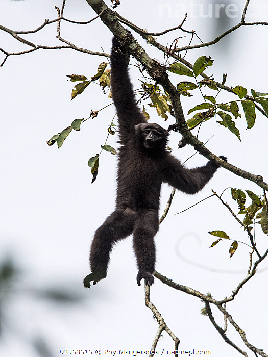 Skywalker hoolock gibbon, (Hoolock tianxing) young male, Xiangbai mountains, Yunnan, China.  ,  Animal,Wildlife,Vertebrate,Mammal,Gibbon,Hoolock Gibbons,Skywalker Gibbon,Gaoligong hoolock gibbon,Animalia,Animal,Wildlife,Vertebrate,Mammalia,Mammal,Primate,Primates,Hylobatidae,Gibbon,Lesser Ape,Hominoidea,Hoolock,Hoolock Gibbons,Asia,East Asia,China,Male Animal,Yunnan Province,Recently discovered species,New to science,Hoolock  tianxing,Skywalker Gibbon,Gaoligong hoolock gibbon,,, catalogue11  ,  Roy Mangersnes