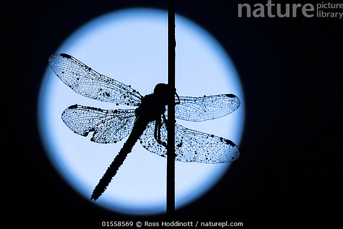 RF - Common darter dragonfly (Sympetrum striolatum) resting on reed, silhouetted against the moon,  Devon, UK. August . (This image may be licensed either as rights managed or royalty free.)  ,  Animal,Arthropod,Insect,Pterygota,Skimmer,Darter,Common darter,Animalia,Animal,Wildlife,Hexapoda,Arthropod,Invertebrate,Hexapod,Arthropoda,Insecta,Insect,Odonata,Pterygota,Libellulidae,Skimmer,Skimmer dragonfly,Dragonfly,Anisoptera,Epiprocta,Sympetrum,Darter,Meadowhawk,Sympetrum striolatum,Common darter,Sympetrum ornatum,Resting,Rest,Waiting,Mood,Mystery,Nobody,Shape,Circle,Halloween,Profile,Side View,Back Lit,Plant,Grass Family,Reed,Reeds,Stem,Moon,Moonlight,Moonlit,Outdoors,Silhouette,Natural Light,Delicate,RF,Royalty free,RFCAT1,RF17Q1,  ,  Ross Hoddinott