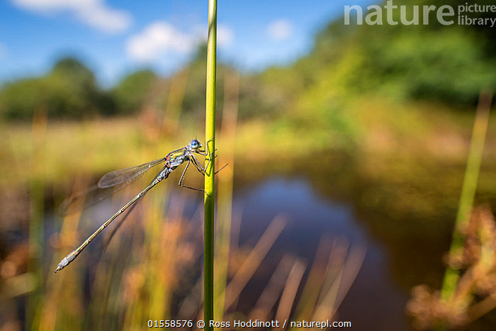 RF - Male emerald damselfly (Lestes sponsa) resting on reed near the water's edge, environmental portrait, Broxwater, Cornwall, UK. August. (This image may be licensed either as rights managed or royalty free.)  ,  Animal,Arthropod,Insect,Pterygota,Spreadwing,Emerald damselfly,Animalia,Animal,Wildlife,Hexapoda,Arthropod,Invertebrate,Hexapod,Arthropoda,Insecta,Insect,Odonata,Pterygota,Lestidae,Spreadwing,Spreadwing damselfly,Damselfly,Zygoptera,Lestes,Lestes sponsa,Emerald damselfly,Common spreadwing,Agrion sponsa,Lestes autumnalis,Lestes nymphaeides,Resting,Rest,Waiting,Fragility,Nobody,Europe,Western Europe,UK,Great Britain,England,Cornwall,Camera Focus,Selective Focus,Focus On Foreground,Male Animal,Plant,Grass Family,Reed,Reeds,Sunlight,Water's Edge,Outdoors,Day,Countryside,Wetland,Water,Habitat,Shallow depth of field,Low depth of field,Natural Light,RF,Royalty free,RFCAT1,RF17Q1,  ,  Ross Hoddinott