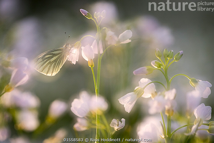 RF - Green-veined white butterfly (Pieris napi) on Ladies smock (Cardamine pratensis), in-camera double exposure to create soft focus effect, Cornwall, UK. May. (This image may be licensed either as rights managed or royalty free.)  ,  Plant,Vascular plant,Flowering plant,Rosid,Crucifer,Bittercress,Cuckoo flower,Plantae,Plant,Tracheophyta,Vascular plant,Magnoliopsida,Flowering plant,Angiosperm,Seed plant,Spermatophyte,Spermatophytina,Angiospermae,Brassicales,Rosid,Dicot,Dicotyledon,Rosanae,Brassicaceae,Crucifer,Cabbage family,Mustard,Mustard flower,Cruciferae,Cardamine,Bittercress,Bitter cress,Cardamine pratensis,Cuckoo flower,Lady's Smock,Cardamine acaulis,Cardamine buchtormensis,Cardamine palustris,Romance,Romantic,Colour,White,Nobody,Europe,Western Europe,UK,Great Britain,England,Cornwall,Close Up,Camera Focus,Soft Focus,Soft Focused,Flower,Blossom,Outdoors,Day,Beautiful,RF,Royalty free,RFCAT1,RF17Q1,  ,  Ross Hoddinott