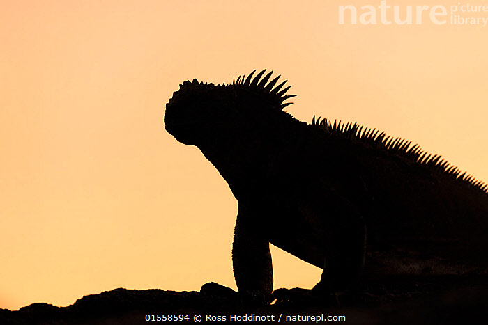RF - Galapagos Marine Iguana (Amblyrhynchus cristatus), silhouetted at dawn, Fernandina island, Galapagos. April 2014. (This image may be licensed either as rights managed or royalty free.)  ,  Animal,Vertebrate,Reptile,Squamate,Iguana,Marine Iguana,Animalia,Animal,Wildlife,Vertebrate,Reptilia,Reptile,Squamata,Squamate,Iguanidae,Iguana,Lizard,Amblyrhychus,Amblyrhynchus cristatus,Marine Iguana,Fernandina Marine Iguana,Galapagos Marine Iguana,Sea Iguana,Oreocephalus cristatus,Pride,Proud,Colour,Yellow,Nobody,Pastel,Spike,Spiked,Spikes,Spikey,Spiky,Latin America,South America,Galapagos Islands,Galapagos,The Galapagos,The Galapagos Islands,Copy Space,Profile,Side View,Back Lit,Outdoors,Day,Silhouette,Biodiversity hotspot,Dawn,Negative space,Fernandina Island,RF,Royalty free,RFCAT1,RF17Q1,Endangered species,threatened,Vulnerable  ,  Ross Hoddinott