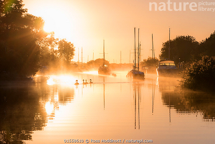 RF - Wareham quay at sunrise, mist and family of mute swans, Dorset, UK. September . (This image may be licensed either as rights managed or royalty free.)  ,  Animal,Vertebrate,Bird,Birds,Water fowl,Waterfowl,True swan,Mute swan,Animalia,Animal,Wildlife,Vertebrate,Aves,Bird,Birds,Anseriformes,Water fowl,Galloanserans,Waterfowl,Anatidae,Cygnus,True swan,Swan,Cygninae,Anserinae,Cygnus olor,Mute swan,Atmospheric Mood,Silence,Quiet,Nobody,Europe,Western Europe,UK,Great Britain,England,Dorset,Harbour,Quay,Dock,Docks,Quays,Wharf,Wharfs,Boat,Mast,Masts,Sunlight,Mist,Sunrise,Outdoors,Water Surface,Water,Family,Boat Part,Dawn,Natural Light,RF,Royalty free,RFCAT1,RF17Q1,Wildfowl  ,  Ross Hoddinott