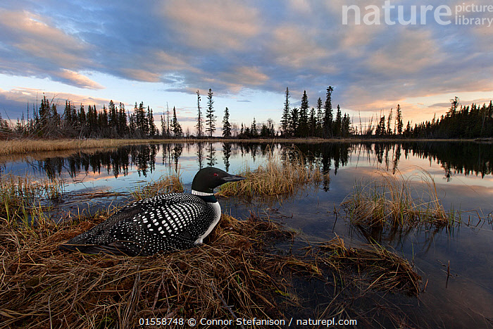 Common loon (Gavia immer) sits on her nest at sunset in the Cariboo region of British Columbia, Canada, taken with remote, May  ,  catalogue10,,Animal,Wildlife,Vertebrate,Bird,Birds,Diver,Great northern diver,Animalia,Animal,Wildlife,Vertebrate,Aves,Bird,Birds,Gaviiformes,Gaviidae,Diver,Loon,Gavia,Gavia immer,Great northern diver,Common loon,Black billed loon,Mood,Calm,North America,Canada,British Columbia,Horizontal,Female animal,Animal Home,Nest,Sunset,Setting Sun,Sunsets,Landscape,Spring,Twilight,Evening,Freshwater,Lake,Water,Habitat,Animal Behaviour,Nesting behaviour,Forest,Behaviour,Dusk,Behavioural,  ,  Connor Stefanison