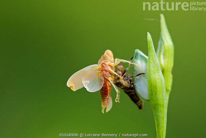 Leaf hopper (Cicadella viridis) adult just emerged on Bee orchid  (Ophrys montis-aviarii) buds,  Var, France, May.  ,  Animal,Arthropod,Insect,True bug,Leafhopper,Green Leafhopper,Animalia,Animal,Wildlife,Hexapoda,Arthropod,Invertebrate,Hexapod,Arthropoda,Insecta,Insect,Hemiptera,True bug,Bug,Paraneoptera,Neoptera,Pterygota,Cicadellidae,Leafhopper,Hopper,Leaf hopper,Membracoidea,Cicadomorpha,Auchenorrhyncha,Europe,Western Europe,France,Copy Space,Moult,Green Leafhopper,Negative space,,,flowers,flower,  ,  Lorraine Bennery