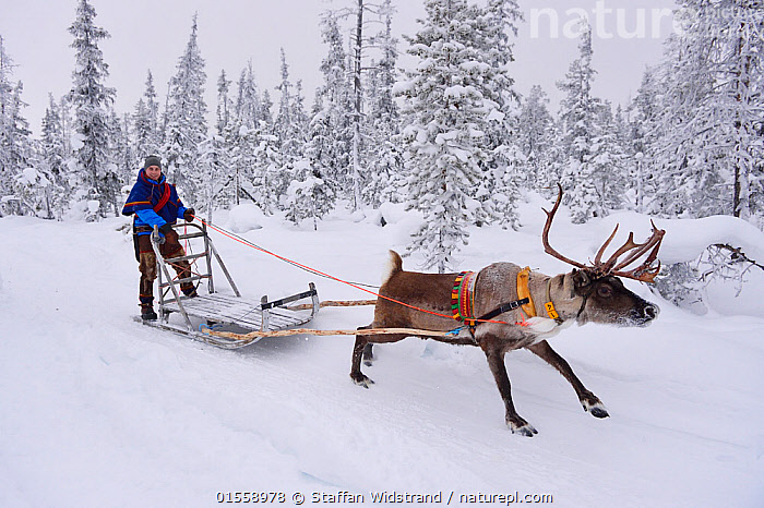 RF - Reindeer sledding  with Sami reindeer herdsman  in -25 degrees. Jukkasjarvi, Lapland, Laponia, Norrbotten county, Sweden. January 2016. (This image may be licensed either as rights managed or royalty free.)  ,  Animal,Vertebrate,Mammal,Deer,Caribou,Animalia,Animal,Wildlife,Vertebrate,Mammalia,Mammal,Artiodactyla,Even-toed ungulates,Cervidae,Deer,True deer,ruminantia,Ruminant,Rangifer,Rangifer tarandus,Caribou,Reindeer,Pulling,Tugging,On The Move,1 Person,Plant,Tree,Equipment,Harnesses,Land Vehicle,Animal Drawn,Sleigh,Snow,Outdoors,Winter,Day,Forest,Direct Gaze,Moving,RF,Royalty free,RFCAT1,RF17Q1,  ,  Staffan Widstrand
