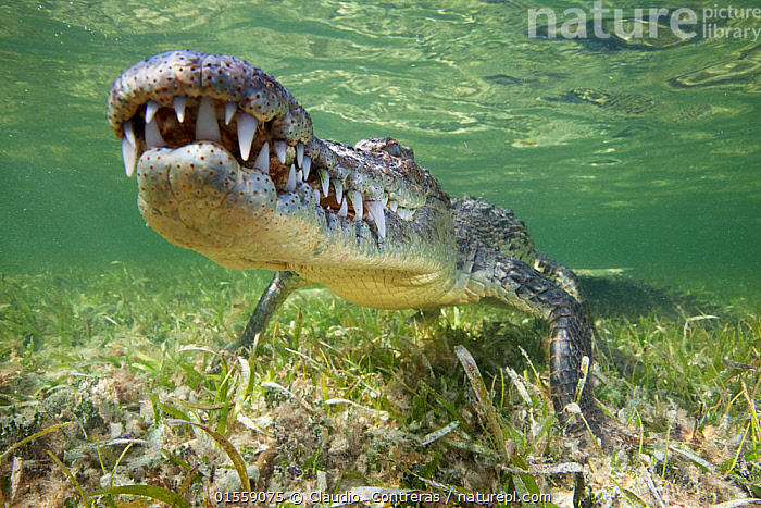 American crocodile (Crocodylus acutus) resting just above seagrass underwater, Banco Chinchorro Biosphere Reserve, Caribbean region, Mexico, Animal,Wildlife,Vertebrate,Reptile,Crocodilian,Crocodile,American crocodile,Animalia,Animal,Wildlife,Vertebrate,Reptilia,Reptile,Crocodylia,Crocodilian,Crocodilia,Crocodylidae,Crocodile,Crocodylus,Crocodylus acutus,American crocodile,Crocodilus americanus,Crocodilus pacificus,Resting,Rest,Danger,Shallow,Latin America,Central America,Mexico,Horizontal,Portrait,Plant,Grass Family,Seagrass,Mouth,Tropical,Seabed,Ocean,Caribbean Sea,Nature,Endangered Species,Threatened,Marine,Underwater,Water,Reserve,Saltwater,Protected area,Vulnerable species,UNESCO Biosphere Reserve,Animals,Vertebrates,Chordates,Reptiles,Crocodilians,Portraits,Mouths,Teeth,Oceans,Reserves,Animal,Wildlife,Vertebrate,Reptile,Crocodilian,Crocodile,American crocodile,high16, Claudio  Contreras