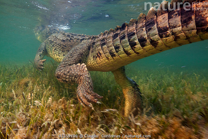 American crocodile (Crocodylus acutus) rear view of animal swimming away over seagrass bed, Banco Chinchorro Biosphere Reserve, Caribbean region, Mexico  ,  Animal,Wildlife,Vertebrate,Reptile,Crocodilian,Crocodile,American crocodile,Animalia,Animal,Wildlife,Vertebrate,Reptilia,Reptile,Crocodylia,Crocodilian,Crocodilia,Crocodylidae,Crocodile,Crocodylus,Crocodylus acutus,American crocodile,Crocodilus americanus,Crocodilus pacificus,Swimming,Vulnerability,Vulnerable,Vunerability,Vunerable,Latin America,Central America,Mexico,Horizontal,Rear View,Plant,Grass Family,Seagrass,Tail,Tropical,Ocean,Caribbean Sea,Nature,Endangered Species,Threatened,Marine,Underwater,Water,Reserve,Saltwater,Protected area,Vulnerable species,Animals,Vertebrates,Chordates,Reptiles,Crocodilians,Tails,Oceans,Reserves,Animal,Wildlife,Vertebrate,Reptile,Crocodilian,Crocodile,American crocodile,high16  ,  Claudio  Contreras