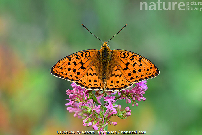 Niobe fritillary (Argynnis niobe) Riou de Meaulx, Provence, southern France, May.  ,  Animal,Arthropod,Insect,Brushfooted butterfly,Mountain fritillary,Niobe fritillary,Animalia,Animal,Wildlife,Hexapoda,Arthropod,Invertebrate,Hexapod,Arthropoda,Insecta,Insect,Lepidoptera,Lepidopterans,Nymphalidae,Brushfooted butterfly,Fourfooted butterfly,Nymphalid,Butterfly,Papilionoidea,Issoria,Mountain fritillary,Longwing,Heliconian,Heliconninae,Argynnis niobe,Niobe fritillary,Papilio niobe,Argynnis eris,Fabriciana niobe,Pollination,Europe,Western Europe,France,Plant,Flower,  ,  Robert  Thompson