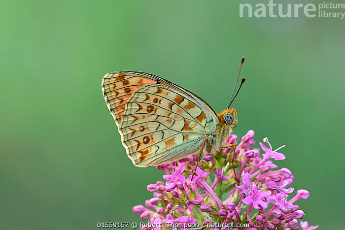 Niobe fritillary (Argynnis niobe) Riou de Meaulx, Provence, southern France, May.  ,  Animal,Arthropod,Insect,Brushfooted butterfly,Mountain fritillary,Niobe fritillary,Animalia,Animal,Wildlife,Hexapoda,Arthropod,Invertebrate,Hexapod,Arthropoda,Insecta,Insect,Lepidoptera,Lepidopterans,Nymphalidae,Brushfooted butterfly,Fourfooted butterfly,Nymphalid,Butterfly,Papilionoidea,Issoria,Mountain fritillary,Longwing,Heliconian,Heliconninae,Argynnis niobe,Niobe fritillary,Papilio niobe,Argynnis eris,Fabriciana niobe,Pollination,Europe,Western Europe,France,Profile,Side View,Plant,Flower,  ,  Robert  Thompson