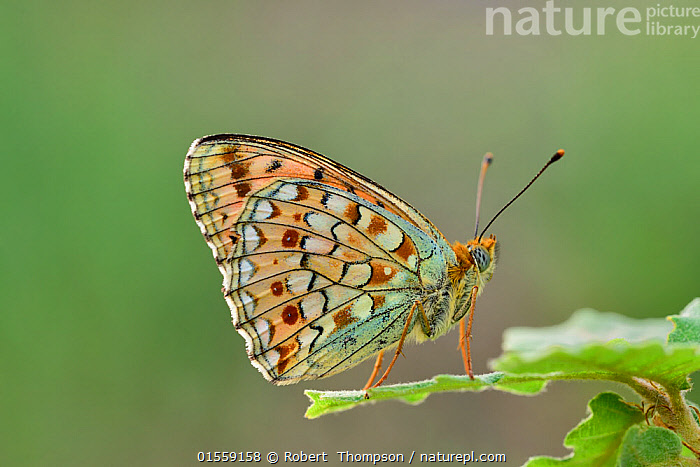 Niobe fritillary (Argynnis niobe) Riou de Meaulx, Provence, southern France, May.  ,  Animal,Arthropod,Insect,Brushfooted butterfly,Mountain fritillary,Niobe fritillary,Animalia,Animal,Wildlife,Hexapoda,Arthropod,Invertebrate,Hexapod,Arthropoda,Insecta,Insect,Lepidoptera,Lepidopterans,Nymphalidae,Brushfooted butterfly,Fourfooted butterfly,Nymphalid,Butterfly,Papilionoidea,Issoria,Mountain fritillary,Longwing,Heliconian,Heliconninae,Argynnis niobe,Niobe fritillary,Papilio niobe,Argynnis eris,Fabriciana niobe,Europe,Western Europe,France,Profile,Side View,  ,  Robert  Thompson