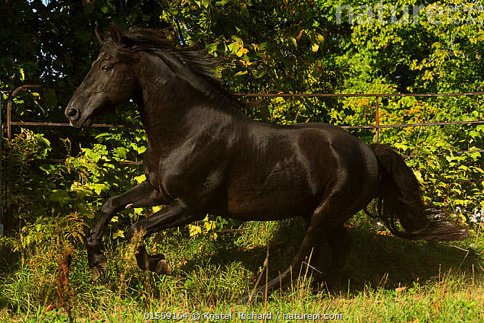 Ferari, a Canadian Horse stallion, multi champion, cantering in a field, Cumberland, Ontario, Canada.Critically Endangered horse breed., Equus ferus caballus,Equus caballus,North America,Canada,Ontario,Animal,Domestic animal,Domestic Horse,Canadian horse,Domesticated,Equus ferus caballus,Equus caballus,Horse,Mammal,, Kristel  Richard