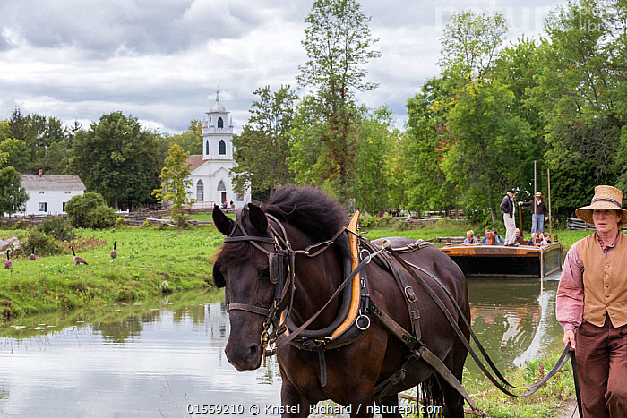 Canadian Horse gelding tows a passenger boat, at Upper Canada Village Museum, Morrisburg, Ontario, Canada. Critically Endangered horse breed.  ,  Equus ferus caballus,Equus caballus,Working,People,North America,Canada,Ontario,Animal,Boat,Flowing Water,River,Travel,Tourism,Freshwater,Water,Domestic animal,Domestic Horse,Canadian horse,Domesticated,Equus ferus caballus,Equus caballus,Horse,Mammal,  ,  Kristel  Richard