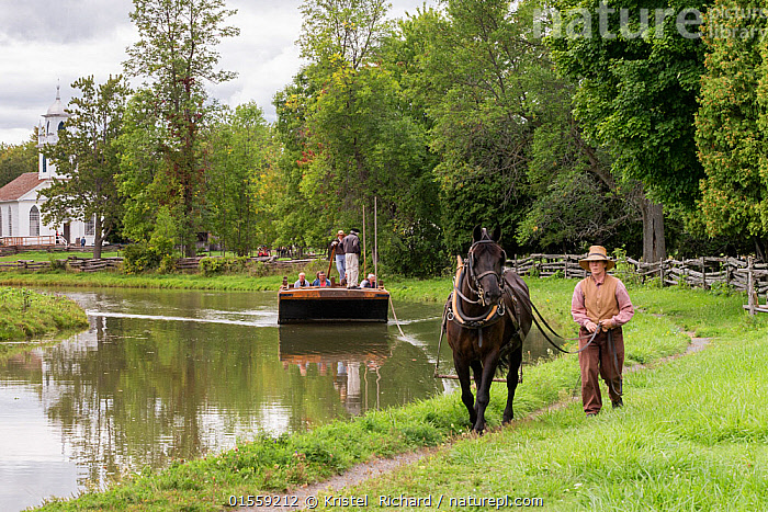Canadian Horse gelding tows a passenger boat, at Upper Canada Village Museum, Morrisburg, Ontario, Canada. Crictically endangered horse breed.  ,  Equus ferus caballus,Equus caballus,Working,People,North America,Canada,Ontario,Animal,Boat,Flowing Water,River,Travel,Tourism,Freshwater,Water,Domestic animal,Domestic Horse,Canadian horse,Domesticated,Equus ferus caballus,Equus caballus,Horse,Mammal,  ,  Kristel  Richard