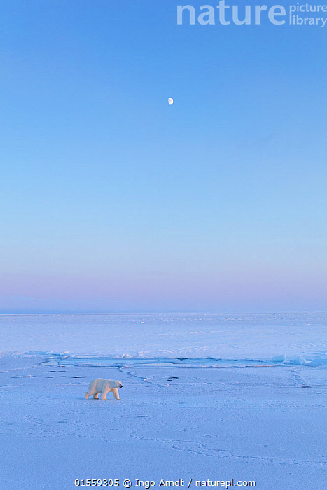 Polar Bear (Ursus maritimus) on icefield with moon in late winter, Svalbard, Spitsbergen, Norway, April, Animal,Vertebrate,Mammal,Carnivore,Bear,Polar bear,Arctic,Animalia,Animal,Wildlife,Vertebrate,Mammalia,Mammal,Carnivora,Carnivore,Ursidae,Bear,Ursus,Ursus maritimus,Polar bear,Ursus labradorensis,Ursus marinus,Ursus polaris,Europe,Northern Europe,North Europe,Nordic Countries,Scandinavia,Norway,Svalbard,Copy Space,Negative space,Spitsbergen,Arctic,Endangered species,threatened,Vulnerable, Ingo Arndt