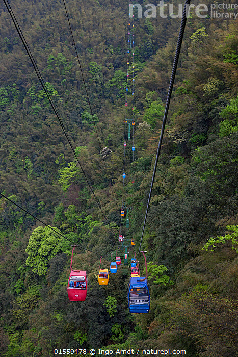 Cable Car with Tourists over Bamboo Forest, Shunan Bamboo Sea, Shunan Zhuhai National Park, Sichuan, China, Plant,Vascular plant,Flowering plant,Monocot,Grass,Plantae,Plant,Tracheophyta,Vascular plant,Magnoliopsida,Flowering plant,Angiosperm,Seed plant,Spermatophyte,Spermatophytina,Angiospermae,Poales,Monocot,Monocotyledon,Lilianae,Poaceae,Grass,True grass,Gramineae,People,Tourist,Tourists,Asia,East Asia,China,Overhead Cable Car,Cable Car,Cable Cars,Cableway,Cableways,Overhead Cable Cars,Bamboo,Bamboos,Environment,Reserve,Forest,Protected area,National Park,Sichuan Province,Sichuan,Shunan Zhuhai national Park,Plants,Angiosperms,Spermatophytes,Monocots,Monocotyledons,Grasses,True grasses,Forests,Reserves,National parks,Plant,Vascular plant,Flowering plant,Monocot,Grass, catalogue9, Ingo Arndt