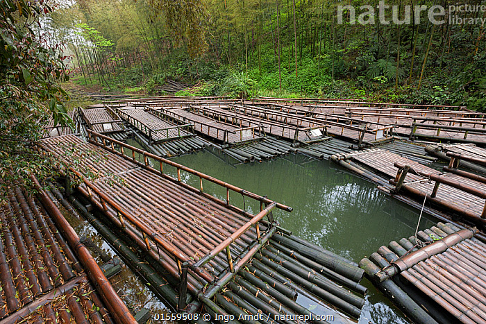 Bamboo (Phyllostachys heterocycla) rafts, Shunan Bamboo Sea, Shunan Zhuhai National Park, Sichuan, China, April 2015., Plant,Vascular plant,Flowering plant,Monocot,Grass,Bamboo,Tortoise shell bamboo,Plantae,Plant,Tracheophyta,Vascular plant,Magnoliopsida,Flowering plant,Angiosperm,Seed plant,Spermatophyte,Spermatophytina,Angiospermae,Poales,Monocot,Monocotyledon,Lilianae,Poaceae,Grass,True grass,Gramineae,Phyllostachys,Bamboo,Bambusidae,Phyllostachys edulis,Tortoise shell bamboo,Phyllostachys pubescens,Bambusa heterocycla,Bambusa pubescens,Phyllostachys heterocycla,Asia,East Asia,China,Boat,Raft,Floating Platform,Floating Platforms,Rafts,Bamboos,Environment,Reserve,Open boat,Protected area,National Park,Sichuan Province,Sichuan,, Ingo Arndt