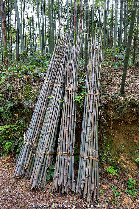 Bamboo (Phyllostachys heterocycla)  cut  stems sorted for the transport, Shunan Bamboo Sea, Shunan Zhuhai National Park, Sichuan, China, April 2015., Plant,Vascular plant,Flowering plant,Monocot,Grass,Bamboo,Tortoise shell bamboo,Plantae,Plant,Tracheophyta,Vascular plant,Magnoliopsida,Flowering plant,Angiosperm,Seed plant,Spermatophyte,Spermatophytina,Angiospermae,Poales,Monocot,Monocotyledon,Lilianae,Poaceae,Grass,True grass,Gramineae,Phyllostachys,Bamboo,Bambusidae,Phyllostachys edulis,Tortoise shell bamboo,Phyllostachys pubescens,Bambusa heterocycla,Bambusa pubescens,Phyllostachys heterocycla,Asia,East Asia,China,Stem,Bamboos,Environment,Reserve,Stalk,Protected area,National Park,Sichuan Province,Sichuan,, Ingo Arndt
