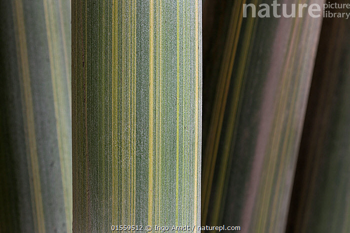 Bamboo close up of stalks, detail, China, Plant,Vascular plant,Flowering plant,Monocot,Grass,Plantae,Plant,Tracheophyta,Vascular plant,Magnoliopsida,Flowering plant,Angiosperm,Seed plant,Spermatophyte,Spermatophytina,Angiospermae,Poales,Monocot,Monocotyledon,Lilianae,Poaceae,Grass,True grass,Gramineae,Asia,East Asia,China,Close Up,Stem,Bamboo,Bamboos,Environment,Stalk,, Ingo Arndt