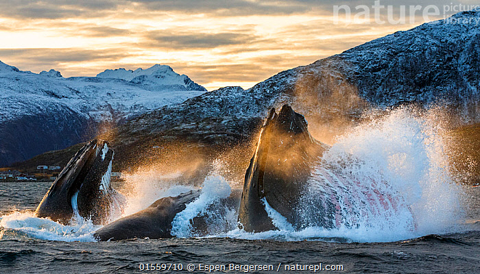 Humpback whales (Megaptera novaeangliae) bubble net / lunge feeding on herring (Clupea harengus) at dusk, pod co-operative feeding, Kvaloya, Troms, Norway, November, Animal,Wildlife,Vertebrate,Mammal,Ceteacean,Humpback Whale,Baleen whale,Animalia,Animal,Wildlife,Vertebrate,Mammalia,Mammal,Cetacea,Ceteacean,Balaeopteridae,Megaptera,Megaptera novaeangliae,Humpback Whale,Hump Whale,Hunchbacked Whale,Megaptera nodosa,Megaptera lalandii,Megaptera longimana,Splashing,Motion,Group Of Animals,Group,Europe,Northern Europe,North Europe,Nordic Countries,Scandinavia,Norway,Horizontal,Ocean,Atlantic Ocean,Twilight,Evening,Marine,Coastal waters,Water,Animal Behaviour,Cooperation,Feeding,Predation,Hunting,Cold Water,Saltwater,Surfacing,Dusk,Coldwater,Pod,Surface,Bubble-netting,Baleen whale,Animals,Vertebrates,Chordates,Mammals,Cetaceans,Groups,Oceans,Pods,Baleen whales,Animal,Wildlife,Vertebrate,Mammal,Ceteacean,Humpback Whale,Baleen whale, catalogue9, Espen Bergersen