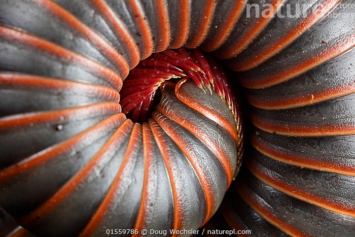 Coiled millipede (Narceus americanus) Washington State Park, Pennsylvania, USA, Animal,Arthropod,Millipede,Round backed millipede,American,Animalia,Animal,Wildlife,Myriapoda,Arthropod,Myriapod,Arthropoda,Diplopoda,Millipede,Myriod,Diplopod,Spirobolida,Round backed millipede,Spirobolidae,Narceus,Narceus americanus,Spirobolus ramstadti,Spirobolus woodi,Narceus tinctorius,Pattern,North America,USA,Eastern USA,Mid-Atlantic US,Pennsylvania,Horizontal,Close Up,Arty shots,Abstract,Abstracts,Invertebrate,Coiled,Curled up,American,United States of America,, Doug Wechsler